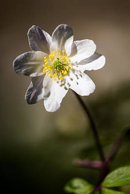 Wood Anemone Print by Ian Hufton