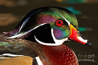 Wood Duck Courtship Colors Print by Max Allen