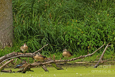 Wood Duck Photograph - Wood Duck Family Reunion by Natural Focal Point Photography