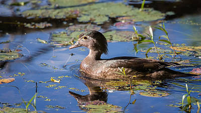 Swamp Photograph - Wood Duck Hen Portrait by Bill Wakeley