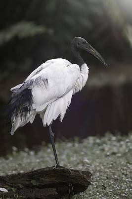 Stork Digital Art - Wood Stork by Eduard Moldoveanu