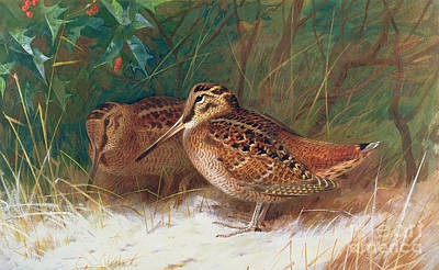 Woodcock Painting - Woodcock In The Undergrowth by Archibald Thorburn