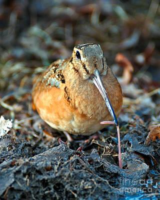 Woodcock Photograph - Woodcock Worm Tug by Timothy Flanigan