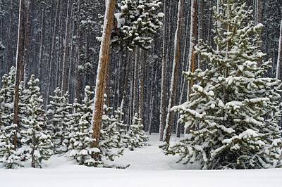 Woodland Snowstorm In Yellowstone Print by NaturesPix