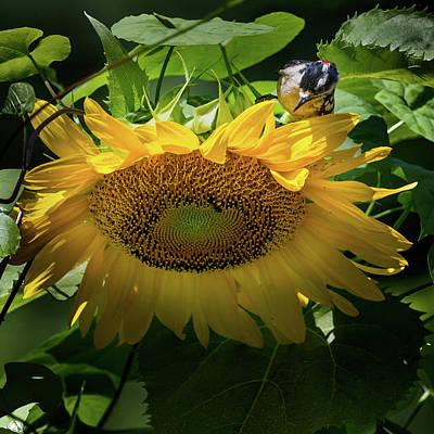 Sunflower Photograph - Woodpecker Delight by Bill Wakeley