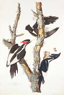 Woody Painting - Woodpeckers by John James Audubon