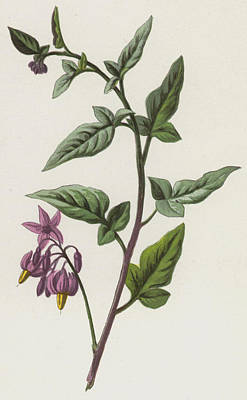 Berry Drawing - Woody Nightshade by Frederick Edward Hulme