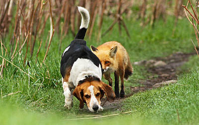 Beagle Photograph - World\\\'s Worst Hunting Dog by Mircea Costina