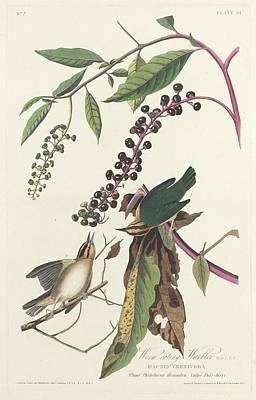 Worm Drawing - Worm-eating Warbler by John James Audubon