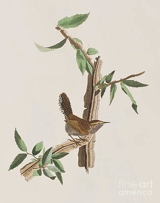 Wren Print by John James Audubon