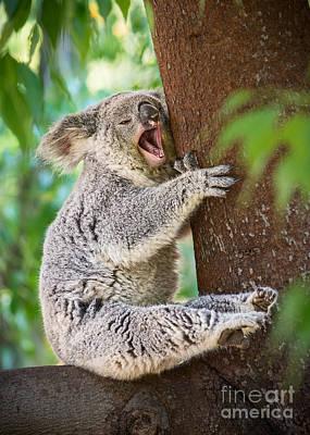 Koala Photograph - Yawn And Stretch by Jamie Pham