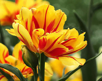 Yellow And Red Triumph Tulips Print by Rona Black