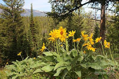 Yellowstone National Park Wildflower Yellow Arrowleaf Balsamroot Print by Adam Long
