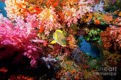Yellow Banded Sweetlip Fish And Coral Print by Beverly Factor