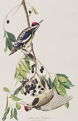 Woodpecker Drawing - Yellow Bellied Woodpecker by John James Audubon