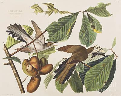 Cuckoo Drawing - Yellow Billed Cuckoo by John James Audubon