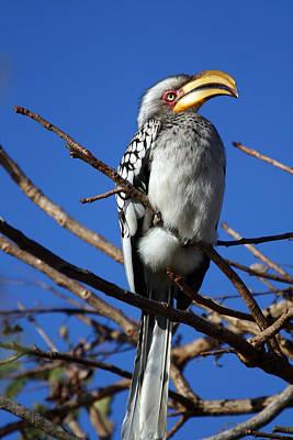 Hornbill Mixed Media - Yellow Billed Hornbill by Riana Van Staden