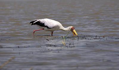 Yellow Billed Stork, Birds Of Africa Print by Aidan Moran