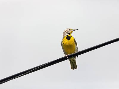 Meadowlark Photograph - Yellow Bird by Rebecca Cozart