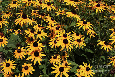 Photograph - Yellow Black Eyed Susan Explosion by Adam Long