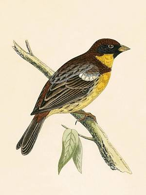 Yellow Breasted Bunting Print by English School