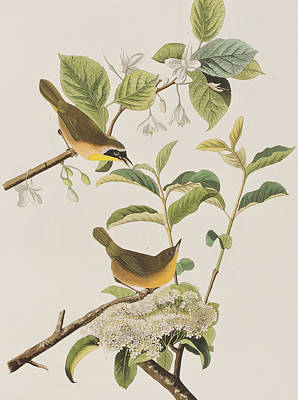 Warbler Drawing - Yellow-breasted Warbler by John James Audubon