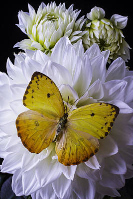 Butterfly Photograph - Yellow Butterfly On White Dahlia by Garry Gay