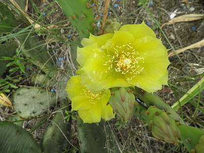 Yellow Cactus Flower Print by Kate Gallagher