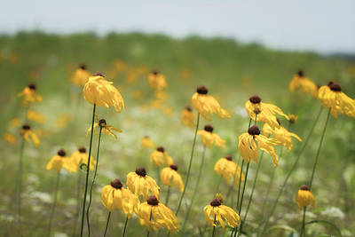 Yellow Coneflower Print by James Barber