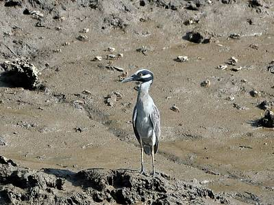 Yellow-crowned Night-heron Print by Al Powell Photography USA