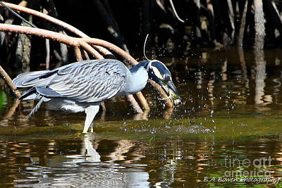 Birdwatching. B A Bowen Photograph - Yellow Crowned Night Heron Catches A Crab by Barbara Bowen