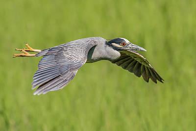 Yellow-crowned Night-heron In Flight Print by Morris Finkelstein