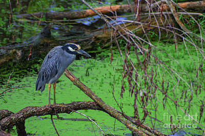 Yellow-crowned Night Heron Print by Photo Captures by Jeffery