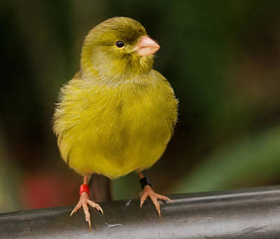 Photograph - Yellow Cutie by Patty MacInnis