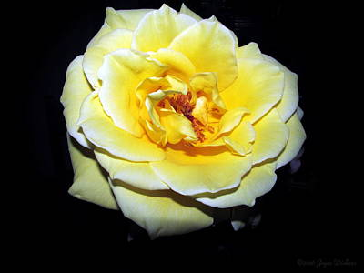 Photograph - Yellow Friendship Rose 2016 by Joyce Dickens