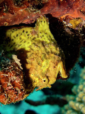 Yellow Frog Fish Print by Jean Noren