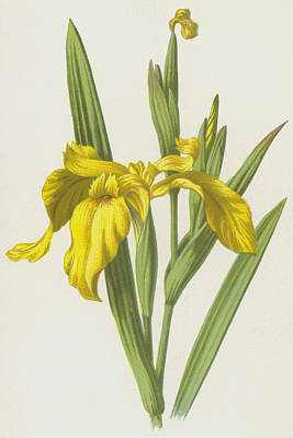 Irises Drawing - Yellow Iris by Frederick Edward Hulme