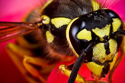 Hornet Photograph - Yellow Jacket by Ryan Kelly
