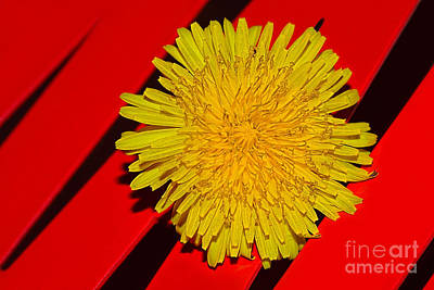 Flowers On Line Photograph - Yellow On Red - Dandelion By Kaye Menner by Kaye Menner