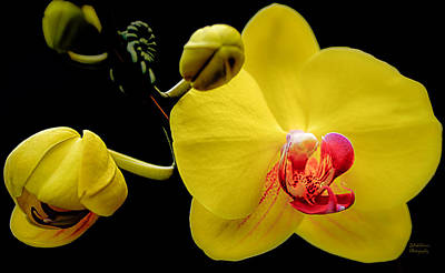 Yellow Orchid And Buds Print by Julie Palencia