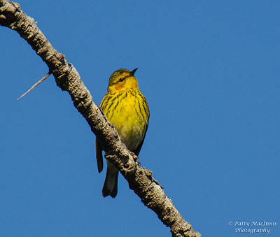 Photograph - Yellow Palm Warbler by Patty MacInnis