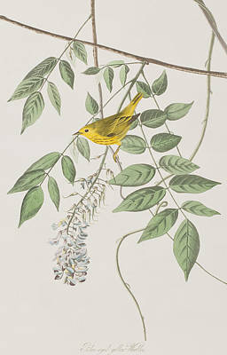 Warbler Drawing - Yellow Poll Warbler by John James Audubon