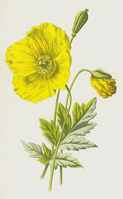 Poppies Drawing - Yellow Poppy Or Mountain Poppy by Frederick Edward Hulme