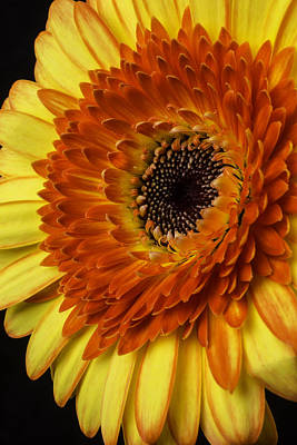 Gerbera Daisy Photograph - Yellow Red Gerbera Germini by Garry Gay