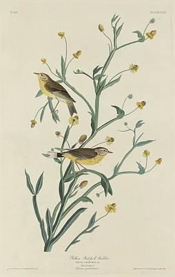 Yellow Beak Drawing - Yellow Red-poll Warbler by John James Audubon