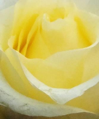 Yellow Rose 2 Print by Amanda Schambon