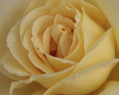 Photograph - Yellow Rose by Alan Skonieczny