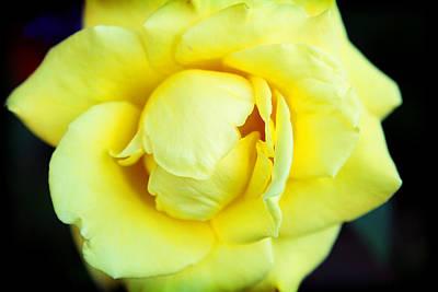 Yellow Rose Print by Ariane Moshayedi