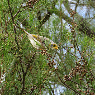 Passionfruit Photograph - Yellow Throated Miner 2 by Evie Hanlon