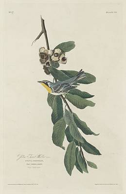 Yellow Beak Drawing - Yellow-throated Warbler by John James Audubon